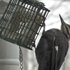 Pileated Woodpecker on Front Porch Suet Feeder