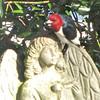 Angelic Red-headed Woodpecker