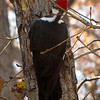 Backside of a Female Pileated Woodpecker