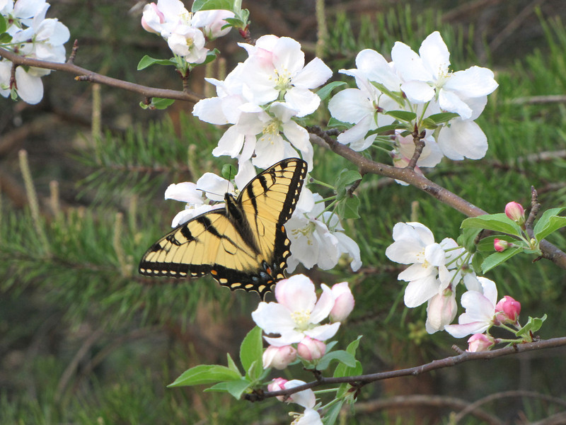 """Wild Crabapple Tree in Bloom with Eastern Tiger Swallowtail Butterfly<br /> The """"tiger"""" part of this butterfly's name comes from the four black stripes that start at the outer, front edge of its wings."""