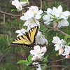 "Wild Crabapple Tree in Bloom with Eastern Tiger Swallowtail Butterfly<br /> The ""tiger"" part of this butterfly's name comes from the four black stripes that start at the outer, front edge of its wings."