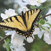 Eastern Tiger Swallowtail on Wild Crabapple Tree in Bloom