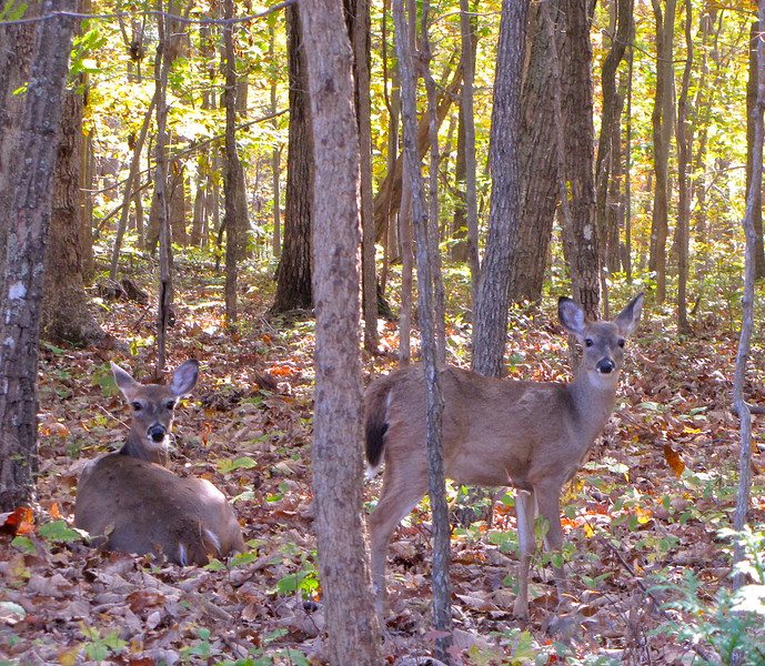 Mama and Daughter Deer Sunning in Our Backyard
