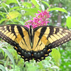 Female Eastern Tiger Swallowtail Butterfly on Butterfly Bush