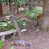 Gray Fox and Mama Love Deer Sniffing For Apples<br /> We can pick up a bushel of ground apples at a local orchard for $8, so we do that each Fall for the wildlife and also for the butterflies that don't drink nectar, but love rotten fruit.