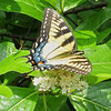 Female Eastern Tiger Swallowtail on Black Haw (Viburnum prunifolium)
