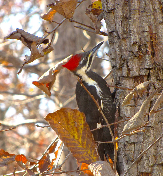 Female Pileated Woodpecker<br /> This tree was cut off at about 14' so the woodpeckers and a multitude of birds and bugs have access to it for many years to come.  We like having woodpeckers nest in our trees since they keep the rest of the trees healthy by debugging them.
