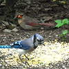 Young Cardinal and Blue Jay