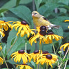 Goldfinch on Black-eyed Susan for Seeds