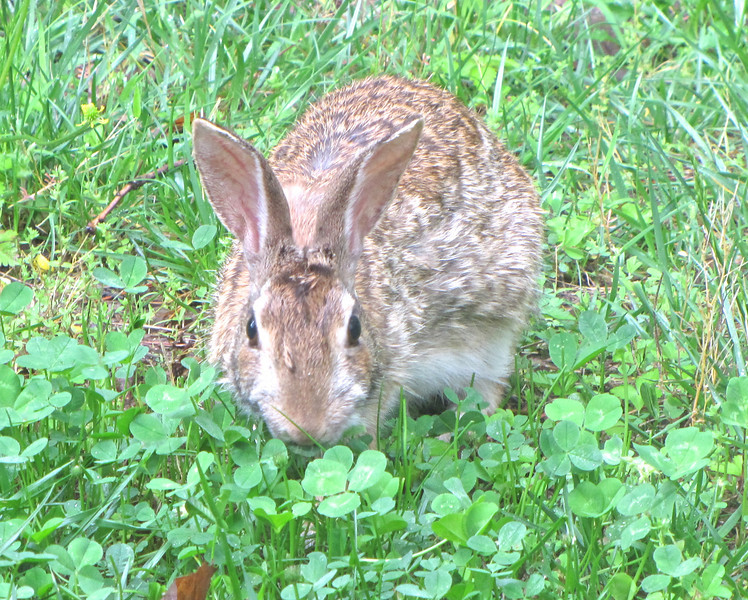 """Rabbits Love The Clover We Planted For Them in The Grass White Clover is a huge asset to your lawn.  It eliminates most of your grass work including fertilizing.  See this article:  <a href=""""http://www.thenatureinus.com/2009/09/lawns-clover-mix-alternative.html"""">Make Lawn Work Disappear</a>"""