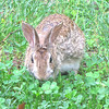 "Rabbits Love The Clover We Planted For Them in The Grass White Clover is a huge asset to your lawn.  It eliminates most of your grass work including fertilizing.  See this article:  <a href=""http://www.thenatureinus.com/2009/09/lawns-clover-mix-alternative.html"">Make Lawn Work Disappear</a>"
