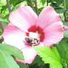 Pollenized Bee in Rose of Sharon Bloom<br /> This guy was covered in pollen.  Time to return to the hive.