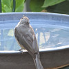 Tufted Titmouse Offers Prayer of Thanks For Water to Drink and Bathe