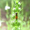 Spider on Budding Obedient Plant