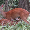 Mama Love Deer Nursing Fawns