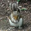 Squirrel Eating Corn & Sunflower Seeds