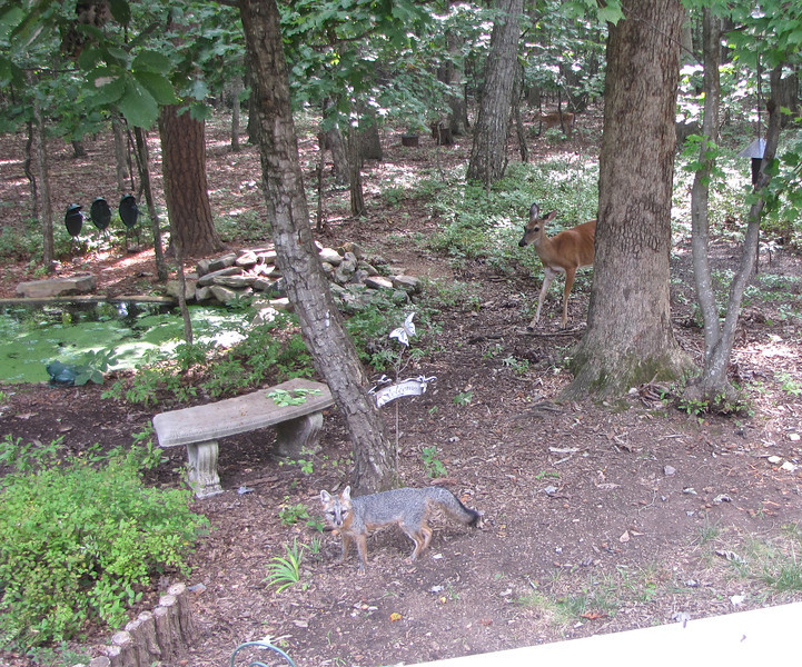 Gray Fox and Mama Love Deer Smiling For the Camera<br /> The white area in the bottom right of the photo is our deck rail.  They sure feel safe.  Our community covers over 9 square miles of residential homes and yards, so they are certainly safer than most.