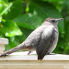 Gray Catbird on Deck Post