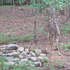 Male Deer with Antlers