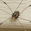 Daddy Long Legs Spider<br /> Beautiful pattern of design on its back.  Certainly never knew they were so handsome.