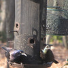 Common Grackles at Feeder<br /> Passing through on migration.  4/3/13