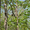 Eagle in Back Woods on Earth Day - 4/22/13