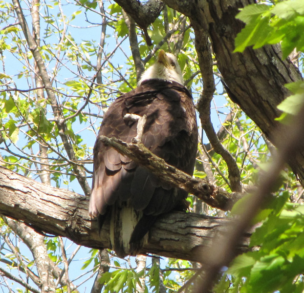 Head Turned All The Way Around to Back - Eagle in Back Woods on Earth Day - 4/22/13<br /> I didn't realize that eagles could do that.  Thought only owls did.