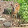 Love Deer - Injured Deer That Has Survived