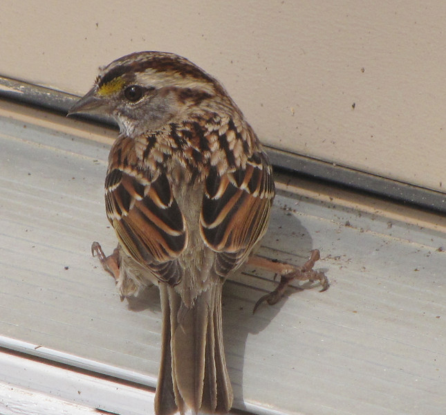 White-throated Sparrow (Adult Tan-striped) Resting on Deck Door Sill