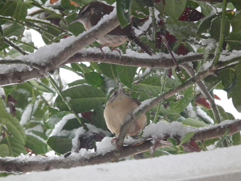 Carolina Wren Couple Taking Shelter From the Snow