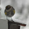Yellow-rumped Warbler on Snowy Day Front Porch