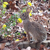 Rabbit Nibbling on Heritage Chrysanthemums<br /> These are mums the deer leave alone, but it seems the rabbit has a taste for it.