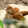Brown Thrasher - Young One - On Stepping Stone in Front Garden