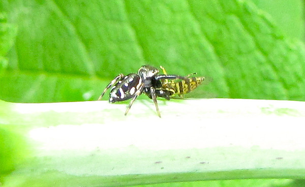 "Spider with Hover Fly Meal <a href=""http://is.gd/THWRia""><b>Get more information on Hover Flies</b></a>."