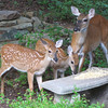 Mama Love Deer and Two Fawns<br /> They came during the day and ate cracked corn put on the bench for the squirrels to stay off the feeders.