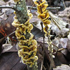 Fungus on Twigs in Woods