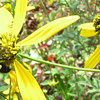 Wasp on Green-headed Coneflower on Butterfly Bank
