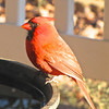 Male Cardinal at Heated Birdbath For a Winter's Drink