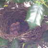 "VIDEO: Just Hatched Baby Gray Catbirds - 7/19/14 <br> <a href=""http://donnawatkins.smugmug.com/Bluebird-Cove-Our-Home-In/Gray-Catbird-Nest-at-Kitchen/"">View gallery of all photos and videos of the catbird nest day by day</a> ."