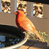 Mr. Cardinal in the Winter Morning Sunshine