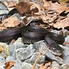 Black Rat Snake on Driveway Smiling at Me