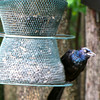 One of Five Young Grackles at Birdfeeder