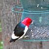 Male Red-headed Woodpecker