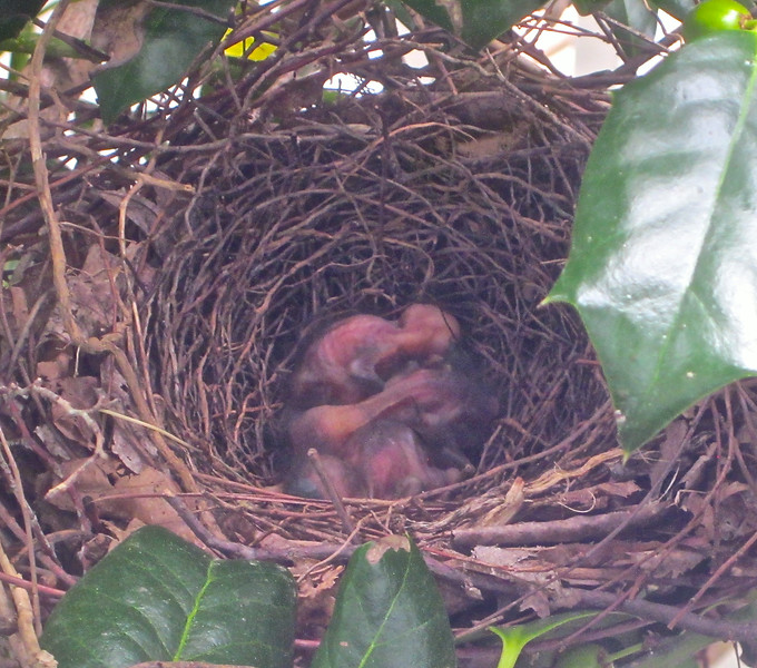 """Day One For 3 Gray Catbird Babies - 7/19/14 <br> <a href=""""http://donnawatkins.smugmug.com/Bluebird-Cove-Our-Home-In/Gray-Catbird-Nest-at-Kitchen/"""">View gallery of all photos and videos</a> of the catbird nest day by day. <br> Look at size comparison to the holly leaf or the berry.  Their head is hardly as big as the berry which is still not full grown on our bushes.  But my wonder is where did all of this flesh come from with those tiny eggs she was sitting on.  Compare the eggs to the bird (previous photos).  They just hatched this morning!  She sat there on the edge just watching what was going on so I knew it was time.  Usually birds lay an egg a day so they can get the first one into feeding before others come.  I was surprised that all three eggs hatched at the same time.  That's not what the bird books say.  In 10-11 days these birds will be fledging according to the birding site.  Hard to imagine!"""