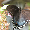 View From Above Spicebush Swallowtail Butterfly