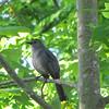 Gray Catbird Singing His Songs