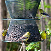 American Goldfinches on Feeder