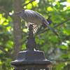 Gray Catbird on Lamp Post Ready to Take Flight