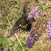 Underside of Spicebush Swallowtail Butterfly - Love Those Polka Dots