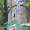 Blue Jay Waits His Turn While Red-bellied Woodpecker Feeds on Suet - Our Blue Jays are very sociable and patient.